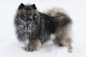 Keeshond in de sneeuw